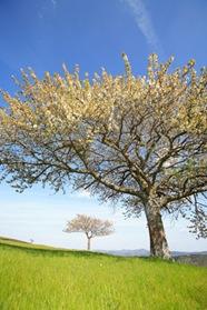 Sur le plateau Ardéchois près de Lamastre, un cerisier en pleine floraison annonce le printemps. Sa floraison tardive due à l'altitude coïncide avec celle des merisiers. L'arboriculture se développe actuellement dans la région en raison de son altitude qui permet une maturité du fruit tardive.
