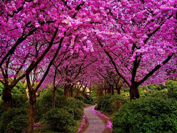 Xmbeekeeping: Κουτσουπιά, κερκίς, μαμουκαλιά, δένδρο του Ιούδα, κότσικας (  Cercis siliquastrum )